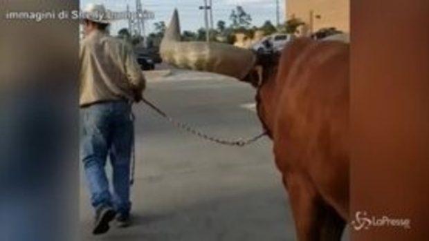 Texas, al negozio d'animali con un bue di 700 chili al guinzaglio