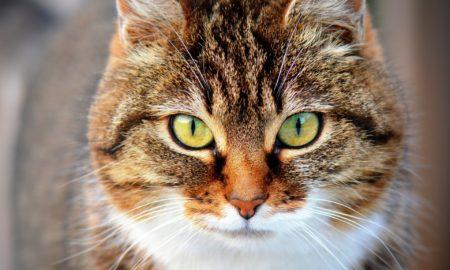 Coronavirus gatti positivi al Covid-19 New York. Niente contagio per l'uomoCoronavirus gatti positivi al Covid-19 New York. Niente contagio per l'uomoCoronavirus gatti positivi al Covid-19 New York. Niente contagio per l'uomo